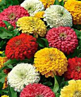Airex ZINNIA DUO GIANT MIXED FLOWER SEED FOR EATABLE WITH ORGANIC (AVG 40-50 ++) SEED X 1 PACKET Seed