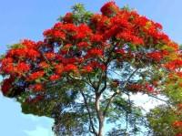 E Garden Royal Poinciana Gulmohar Delonix Regia Flame Seed(10 per packet)