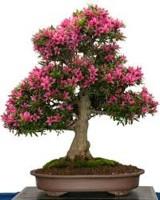 Priyathams Imported Bonsai Holland Beautiful SAKURA Plant Seed(10 per packet)