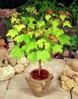 E Garden maple Seed(5 per packet)