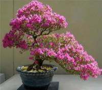 GREENZ Japanese Sakura Bonsai Plant Seeds Seed(10 per packet)