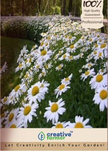 Creative Farmer Flower Seeds Dimorphothica White King Kitchen Garden Pack Seed