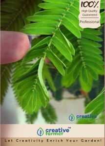 Creative Farmer Touch Me Not Plant Seeds - Mimosa Pudica Beautiful Pink Flowers And Small Green Leaves Organic Herb Seeds Herb Seeds For Home Garden-50 Seeds Seed