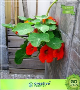 Creative Farmer Nasturtium Succulent Type Plant Flower Seeds For Basket Climber Flower Plants Seed