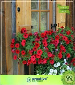 Creative Farmer Flower Seeds : Red Colour Petunia Seeds Floral Mix FlowerSeeds ForHome Garden - Garden Flower Seeds Pack Seed