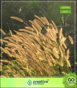 Creative Farmer Grass Seeds : Pennisetum Pedicellatum Grass Seeds For Cattle - Grass Seeds Pack Seed