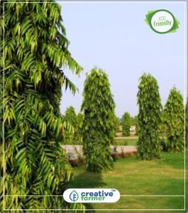 Christmas Tree In India.Creative Farmer Indian Mast Tree False Christmas Tree Kitchen Garden Plant Seeds 5indoor Outdoor Kitchen Garden Plant Seeds Seed5 Per Packet