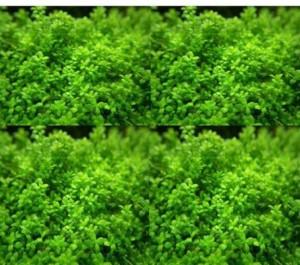 ROSEMERC AQUARIUM grass-decor-easy planting Seed30 per packet