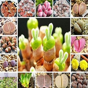 Futaba Rare Mix Lithops Seeds Living Stones Succulent Cactus Seed