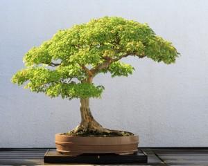 Saaheli Red Sandalwood chandan Seed10 per packet