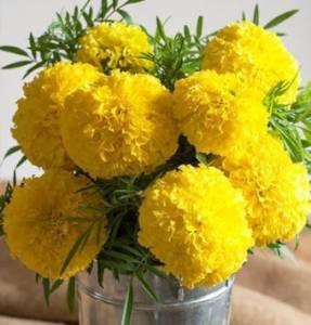 Amir Enterprises Marigold Seed