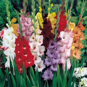 Agricart Gladiolus Seed
