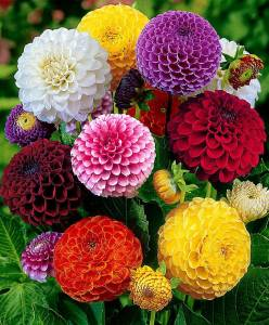 ishika Dahlia Mixed Seeds Seed