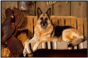 German Shepherd Dog Poster Paper Print12 inch X 18 inch, Rolled
