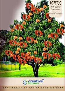 Creative Farmer Plum Seeds[Ziziphus Mauritiana,Indian Jujube