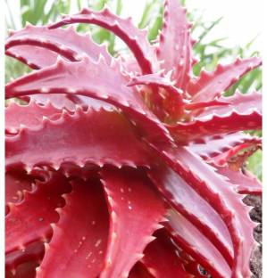 Priyathams Imported RED ALOE VERA Potted plant Seed