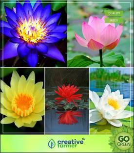 M Tech Gardens Lotus Seed Price In India Buy M Tech Gardens Lotus