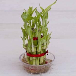 Green Plant Indoor Plants Saplings Buy Green Plant Indoor Plants