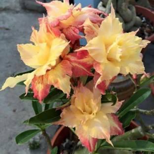 Trothic Gardens Golden King Taiwan Adenium Obesum Desert Rose Seedling Live Plant Seed
