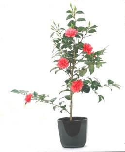 Vamsha Nature Care Rose Plant