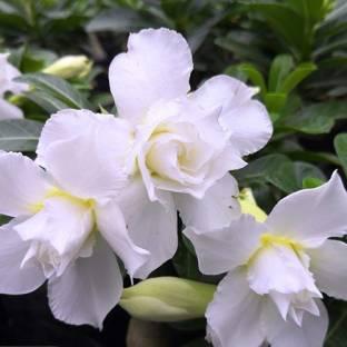 LushGreen Adenium Plant