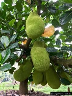 Trothic Jackfruit Plant Price In India Buy Trothic Jackfruit Plant Online At Flipkart Com