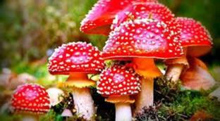 Pepper Agro Mushroom Spawn/Seeds Milky White Calocybe Indica