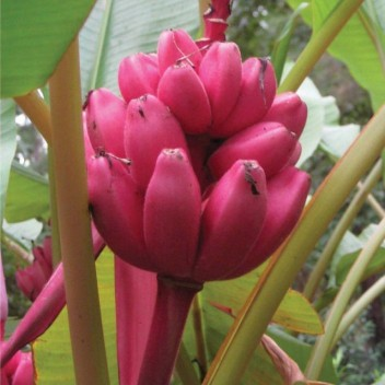 Banana Tree Fruit Seeds Rare Mini Bonsai Pink Banana Seeds