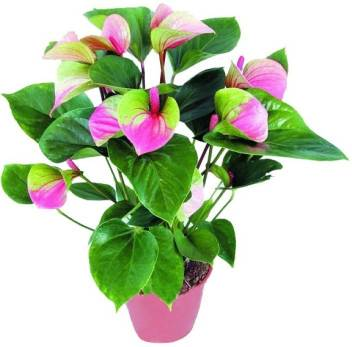 Elif Pink Green Anthurium Andraeanu Seed Price In India Buy Elif Pink Green Anthurium Andraeanu Seed Online At Flipkart Com