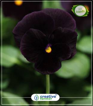 Creative Farmer Pansy Flower Seeds Black Penther Ornamental Vegetable Seeds Perfect Home Garden Plant Seeds Seed Price In India Buy Creative Farmer Pansy Flower Seeds Black Penther Ornamental Vegetable Seeds Perfect
