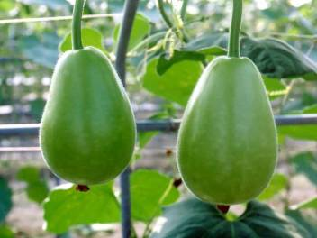 Orchidwala Law Lowki Round Bottle Gourd Lauki Lau Clabash Seed Price In India Buy Orchidwala Law Lowki Round Bottle Gourd Lauki Lau Clabash Seed Online At Flipkart Com