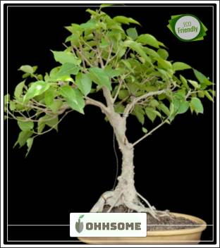 Ohhsome Seeds For Tree Ficus Houseplant Indian Tree Seeds Bonsai Suitable Tree Seeds Pack Seed Price In India Buy Ohhsome Seeds For Tree Ficus Houseplant Indian Tree Seeds Bonsai Suitable Tree