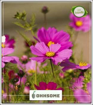 Ohhsome Cosmos Herbaceous Perennial Plants Suitable For All