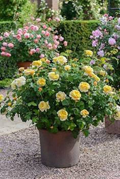 Trothic Gardens Yellow Bush Rose Perennial Flower 1 Healthy Live Plant Seed Price In India Online