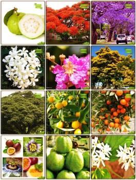Ohhsome Plant Gardening Combo Tree Seeds Blue Jacaranda Delonix