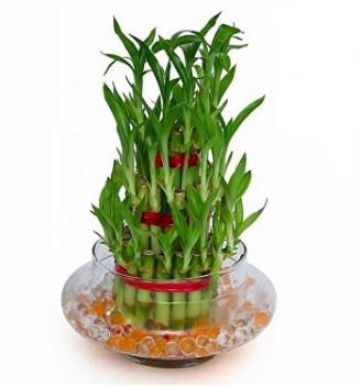 The Bonsai Plants Two Layer Bamboo Plant Price In India Buy The Bonsai Plants Two Layer Bamboo Plant Online At Flipkart Com