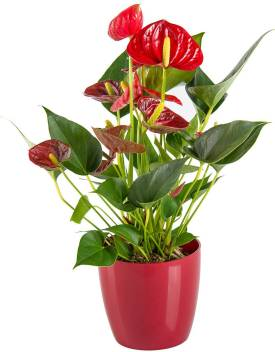 Adopt Plants Anthurium Plant Price In India Buy Adopt Plants Anthurium Plant Online At Flipkart Com