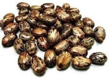 Vinarghya Arandi Castor Seed Ricinus Communis Aamudamu Erandela Seed Price In India Buy Vinarghya Arandi Castor Seed Ricinus Communis Aamudamu Erandela Seed Online At Flipkart Com