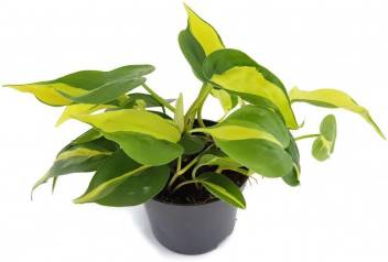 Orchidwala Philodendron Plant Price In India Buy Orchidwala Philodendron Plant Online At Flipkart Com