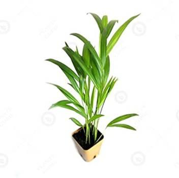 Plants Nursery Areca Plam Price In India Buy Plants Nursery Areca Plam Online At Flipkart Com