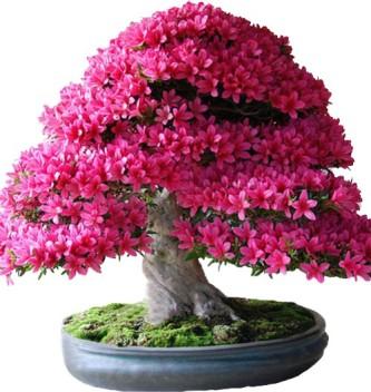 30 semi di sakura bonsai