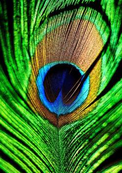 Peacock Feather Mor Pankh A3 Non Tearable High Quality Printed Poster Wall Art Print Size 11 7