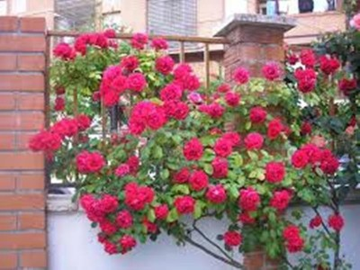 PABBA red climbing rose Seed(10 per packet) at flipkart