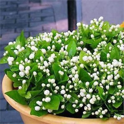Geogrow Imported Original Potted/Balcony?Indoor Jasmine plant Seed(15 per packet)