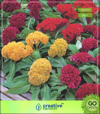 Creative Farmer Celosia amaranth Family Plant Seeds Flower Seeds Seed(20 per packet)  available at flipkart for Rs.199