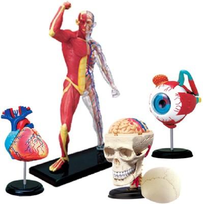 4D Master Human Heart, Muscle   Skeleton, Skull   Eye Models Multicolor 4D Master Educational Toys