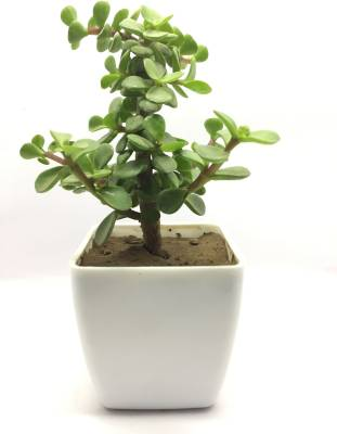 Black Gold Black Gold Good Luck Jade Plant (Lucky Plant, Feng Shui Plant, Decorative Plant, Beautiful low maintenance Plant  (No Pack of 1 Foliage)