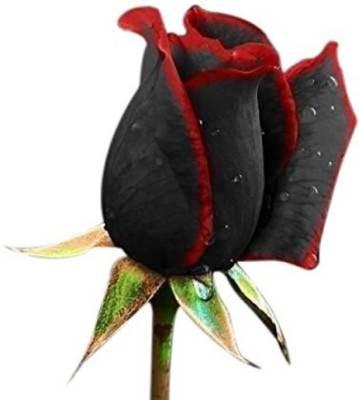 Priyathams True Blood Black Rose Flower Seed  (100 per packet)