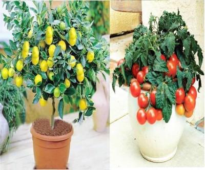 https://rukminim1.flixcart.com/image/400/400/jfmuw7k0/plant-seed/b/z/s/50-tlsa1510-2-elif-original-imaf3zdjmwhszxgw.jpeg?q=90