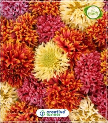 Creative Farmer Indian blanket Pulchella Flower Gardening Seeds All Season Kitchen Garden Plant Seeds 20Indoor, Outdoor Kitchen Garden Plant Seeds Seed(20 per packet)  available at flipkart for Rs.144